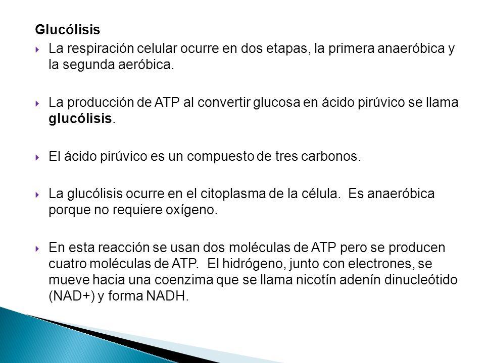 Glucólisis La respiración celular ocurre en dos etapas, la primera anaeróbica y la segunda aeróbica. La producción de ATP al convertir glucosa en ácid
