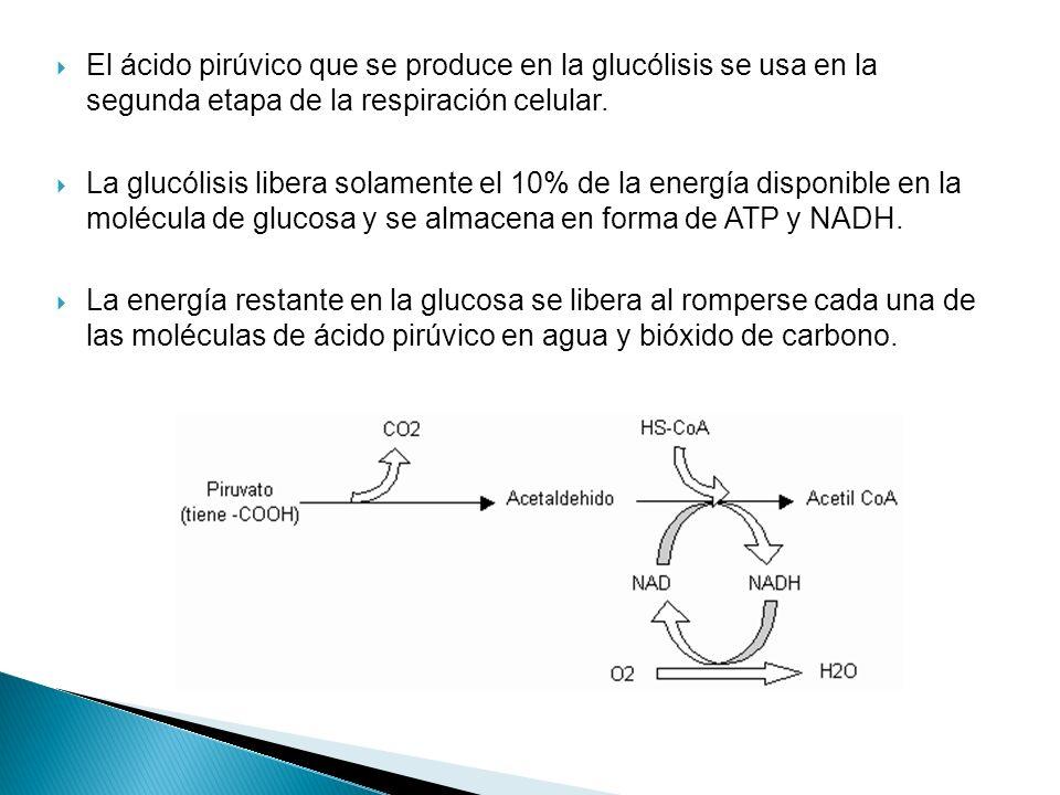 El ácido pirúvico que se produce en la glucólisis se usa en la segunda etapa de la respiración celular. La glucólisis libera solamente el 10% de la en