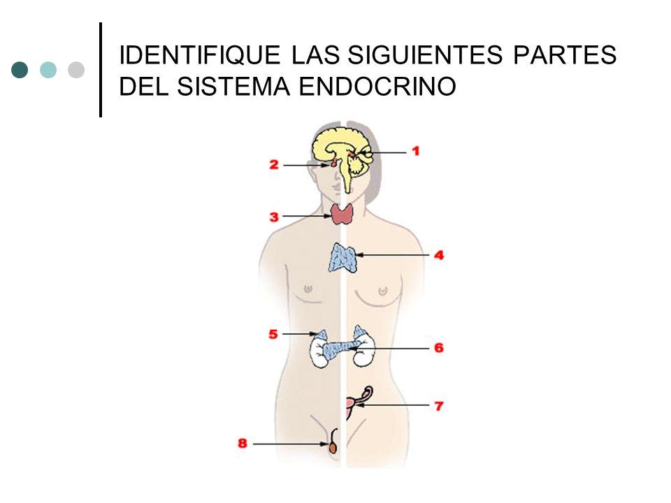 Sistema Endocrino 1) Glándula pineal 2) Pituitaria (hipófisis) 3) Glándula Tiroide 4) Timo 5) Glándula adrenal 6) Páncreas 7) Ovarios 8) Testículos