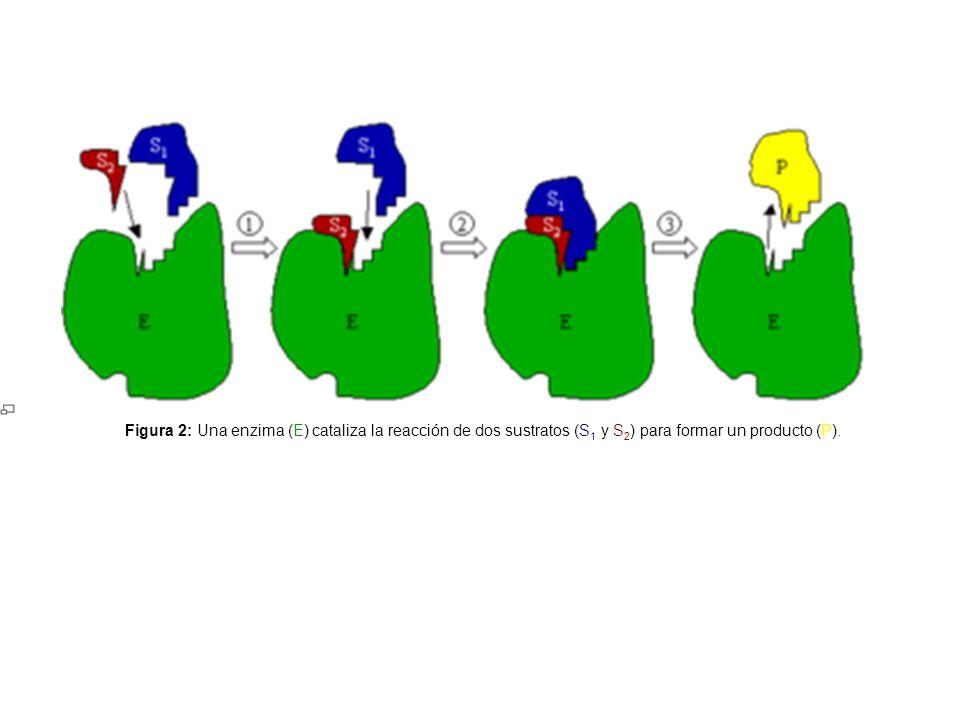 Figura 2: Una enzima (E) cataliza la reacción de dos sustratos (S 1 y S 2 ) para formar un producto (P).