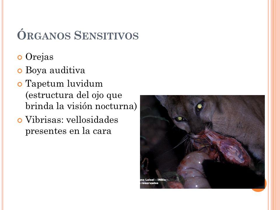 Ó RGANOS S ENSITIVOS Orejas Boya auditiva Tapetum luvidum (estructura del ojo que brinda la visión nocturna) Vibrisas: vellosidades presentes en la ca