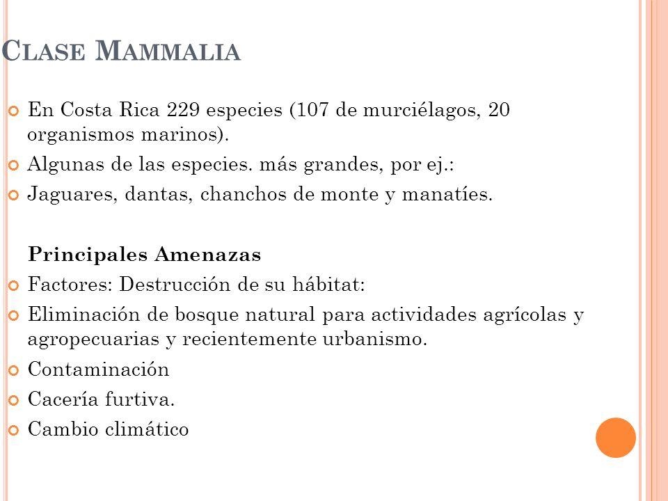 C LASE M AMMALIA En Costa Rica 229 especies (107 de murciélagos, 20 organismos marinos). Algunas de las especies. más grandes, por ej.: Jaguares, dant