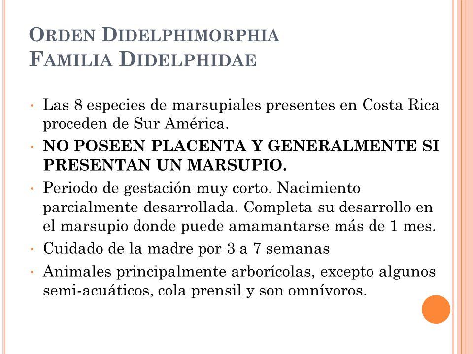O RDEN D IDELPHIMORPHIA F AMILIA D IDELPHIDAE Las 8 especies de marsupiales presentes en Costa Rica proceden de Sur América. NO POSEEN PLACENTA Y GENE
