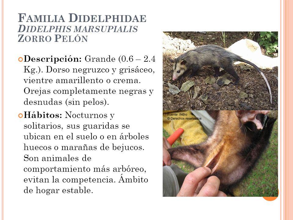 F AMILIA D IDELPHIDAE D IDELPHIS MARSUPIALIS Z ORRO P ELÓN Descripción: Grande (0.6 – 2.4 Kg.). Dorso negruzco y grisáceo, vientre amarillento o crema
