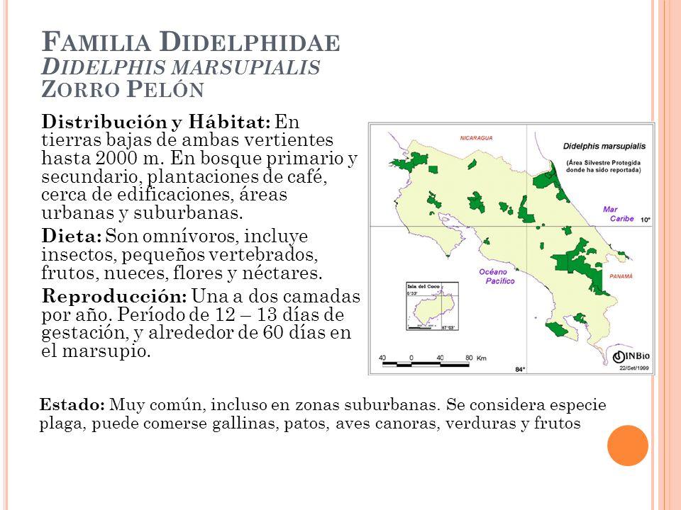 F AMILIA D IDELPHIDAE D IDELPHIS MARSUPIALIS Z ORRO P ELÓN Distribución y Hábitat: En tierras bajas de ambas vertientes hasta 2000 m. En bosque primar