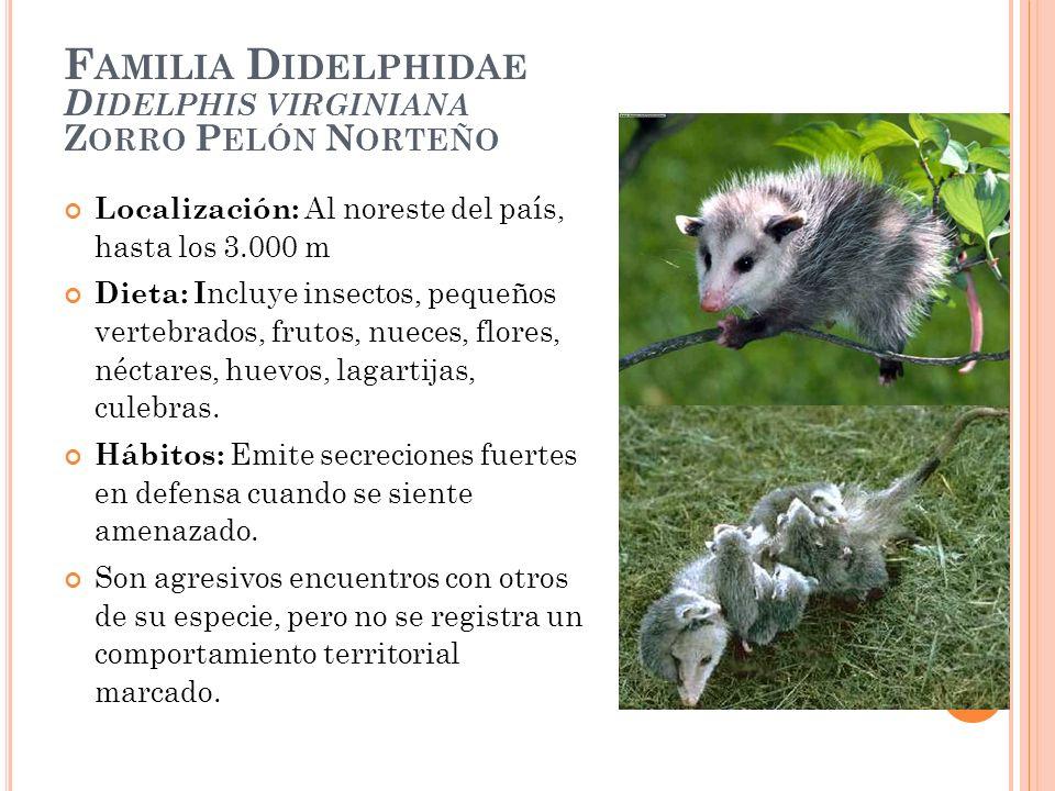 F AMILIA D IDELPHIDAE D IDELPHIS VIRGINIANA Z ORRO P ELÓN N ORTEÑO Localización: Al noreste del país, hasta los 3.000 m Dieta: I ncluye insectos, pequ
