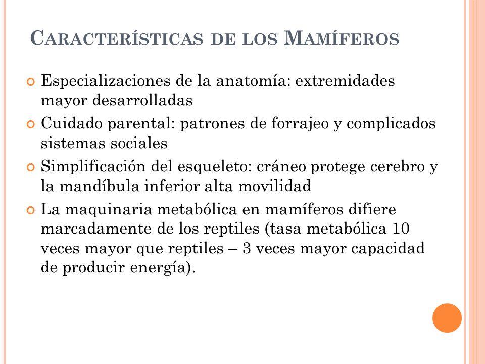 C ARACTERÍSTICAS DE LOS M AMÍFEROS Especializaciones de la anatomía: extremidades mayor desarrolladas Cuidado parental: patrones de forrajeo y complic