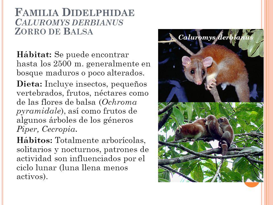 F AMILIA D IDELPHIDAE C ALUROMYS DERBIANUS Z ORRO DE B ALSA Hábitat: Se puede encontrar hasta los 2500 m. generalmente en bosque maduros o poco altera