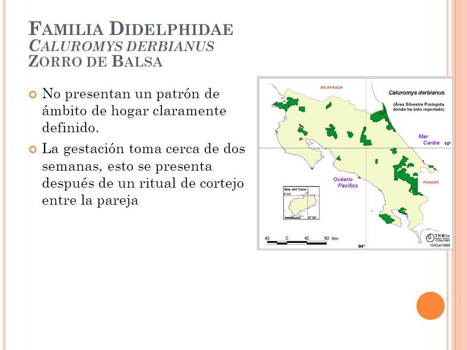 F AMILIA D IDELPHIDAE C ALUROMYS DERBIANUS Z ORRO DE B ALSA No presentan un patrón de ámbito de hogar claramente definido. La gestación toma cerca de