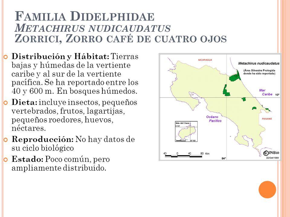 F AMILIA D IDELPHIDAE M ETACHIRUS NUDICAUDATUS Z ORRICI, Z ORRO CAFÉ DE CUATRO OJOS Distribución y Hábitat: Tierras bajas y húmedas de la vertiente ca