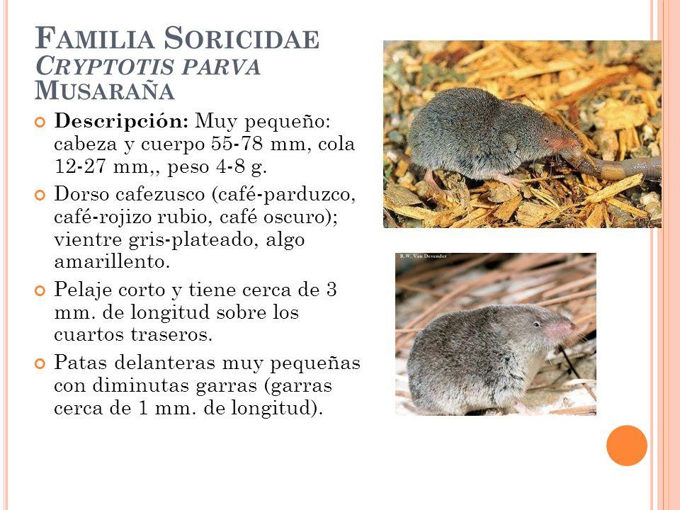 F AMILIA S ORICIDAE C RYPTOTIS PARVA M USARAÑA Descripción: Muy pequeño: cabeza y cuerpo 55-78 mm, cola 12-27 mm,, peso 4-8 g. Dorso cafezusco (café-p