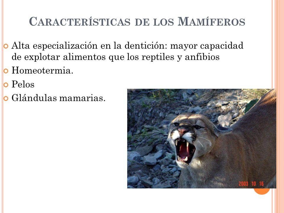 C ARACTERÍSTICAS DE LOS M AMÍFEROS Alta especialización en la dentición: mayor capacidad de explotar alimentos que los reptiles y anfibios Homeotermia