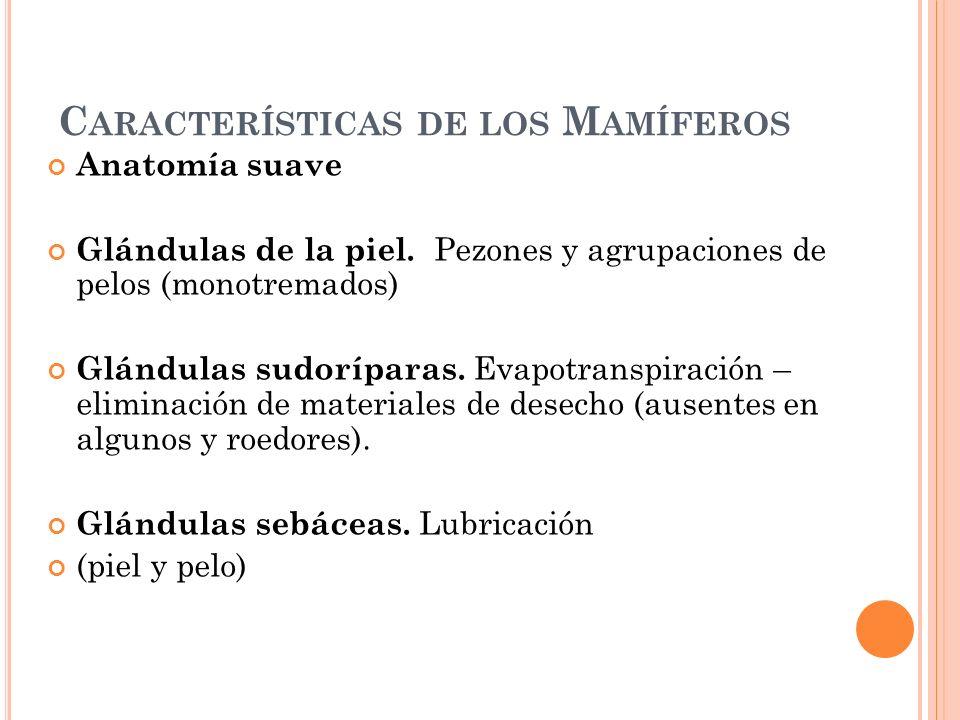 C ARACTERÍSTICAS DE LOS M AMÍFEROS Anatomía suave Glándulas de la piel. Pezones y agrupaciones de pelos (monotremados) Glándulas sudoríparas. Evapotra