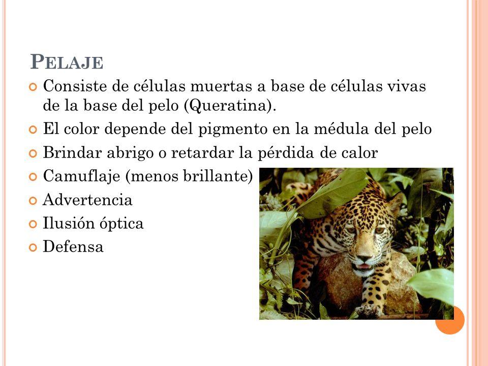 O RDEN D IDELPHIMORPHIA F AMILIA D IDELPHIDAE Las 8 especies de marsupiales presentes en Costa Rica proceden de Sur América.