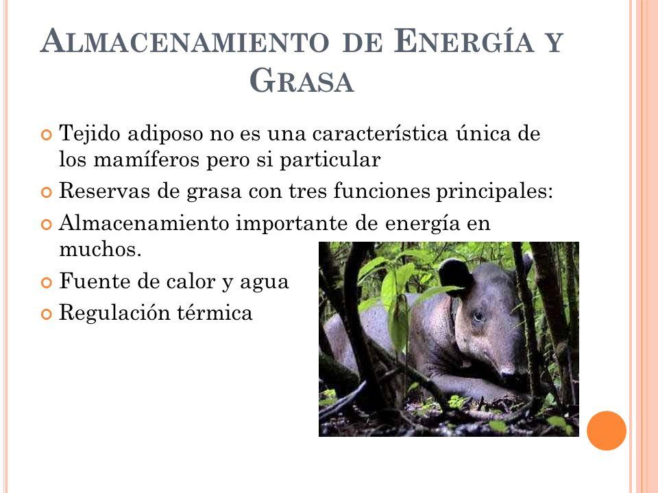 S ISTEMA C IRCULATORIO De acuerdo a su activa vida y a su capacidad de endotérmica los mamíferos tiene un sistema circulatorio especializado.