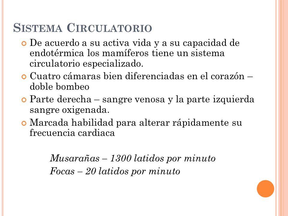 S ISTEMA C IRCULATORIO De acuerdo a su activa vida y a su capacidad de endotérmica los mamíferos tiene un sistema circulatorio especializado. Cuatro c