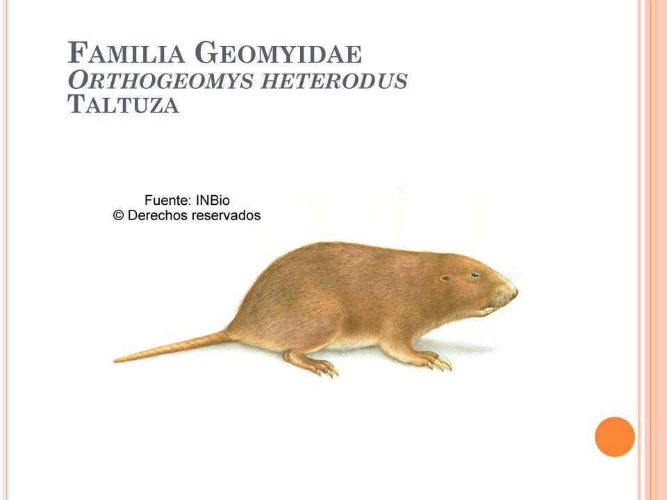 F AMILIA G EOMYIDAE O RTHOGEOMYS HETERODUS T ALTUZA