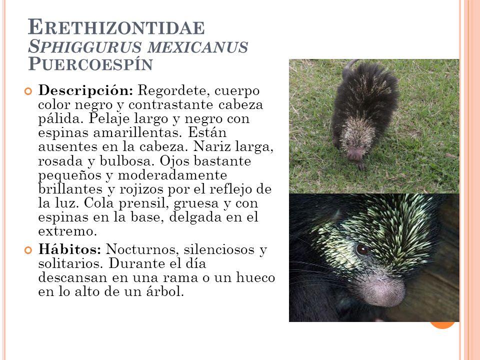 E RETHIZONTIDAE S PHIGGURUS MEXICANUS P UERCOESPÍN Descripción: Regordete, cuerpo color negro y contrastante cabeza pálida. Pelaje largo y negro con e