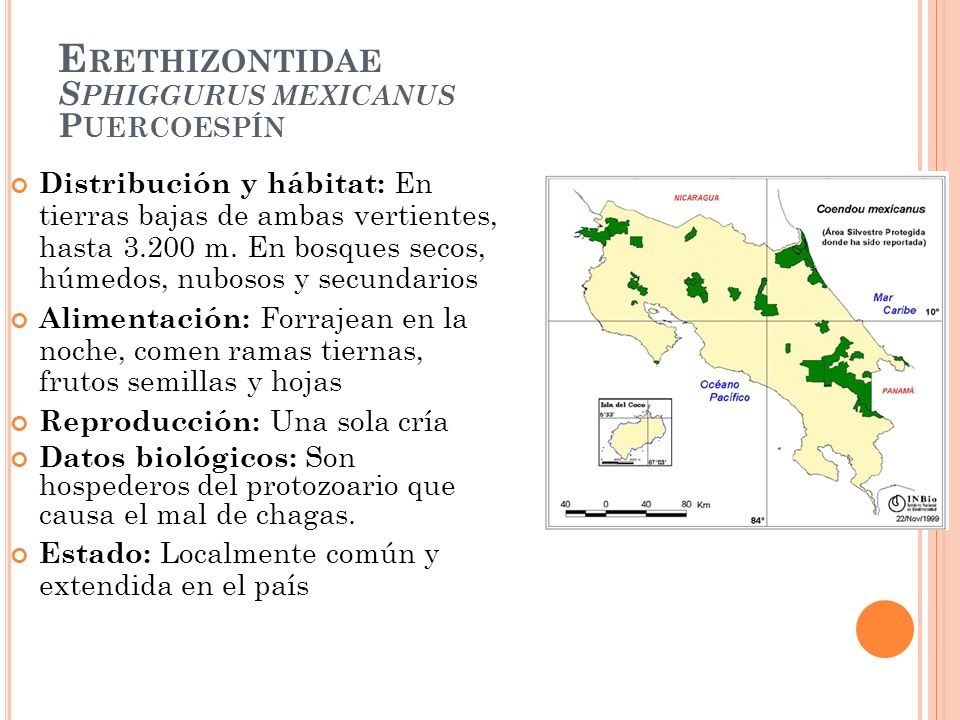 E RETHIZONTIDAE S PHIGGURUS MEXICANUS P UERCOESPÍN Distribución y hábitat: En tierras bajas de ambas vertientes, hasta 3.200 m. En bosques secos, húme