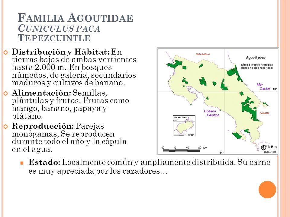 F AMILIA A GOUTIDAE C UNICULUS PACA T EPEZCUINTLE Distribución y Hábitat: En tierras bajas de ambas vertientes hasta 2.000 m. En bosques húmedos, de g