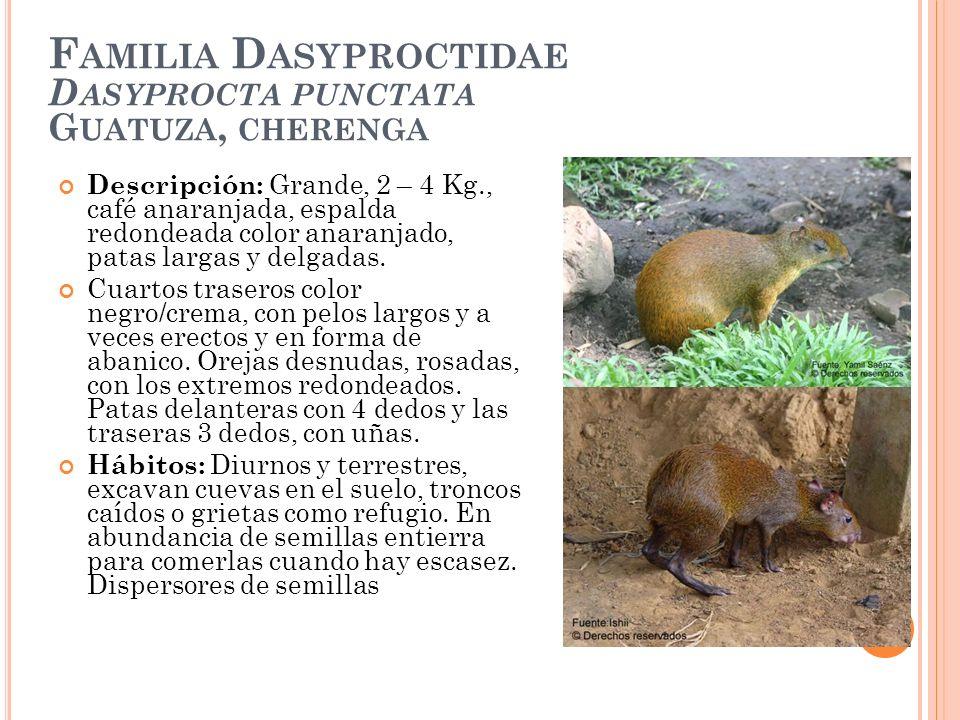 F AMILIA D ASYPROCTIDAE D ASYPROCTA PUNCTATA G UATUZA, CHERENGA Descripción: Grande, 2 – 4 Kg., café anaranjada, espalda redondeada color anaranjado,