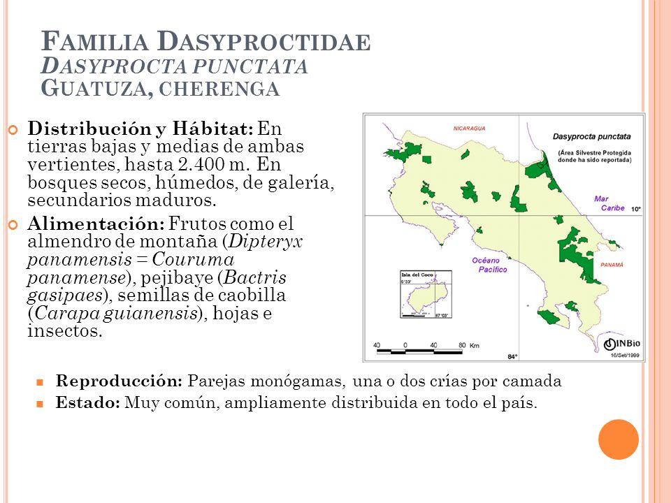 F AMILIA D ASYPROCTIDAE D ASYPROCTA PUNCTATA G UATUZA, CHERENGA Distribución y Hábitat: En tierras bajas y medias de ambas vertientes, hasta 2.400 m.