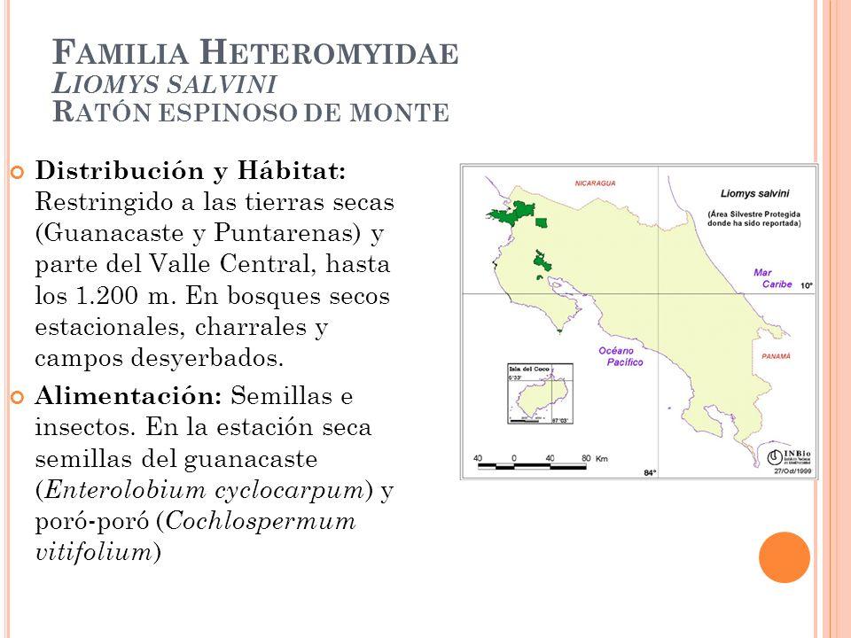 F AMILIA H ETEROMYIDAE L IOMYS SALVINI R ATÓN ESPINOSO DE MONTE Distribución y Hábitat: Restringido a las tierras secas (Guanacaste y Puntarenas) y pa
