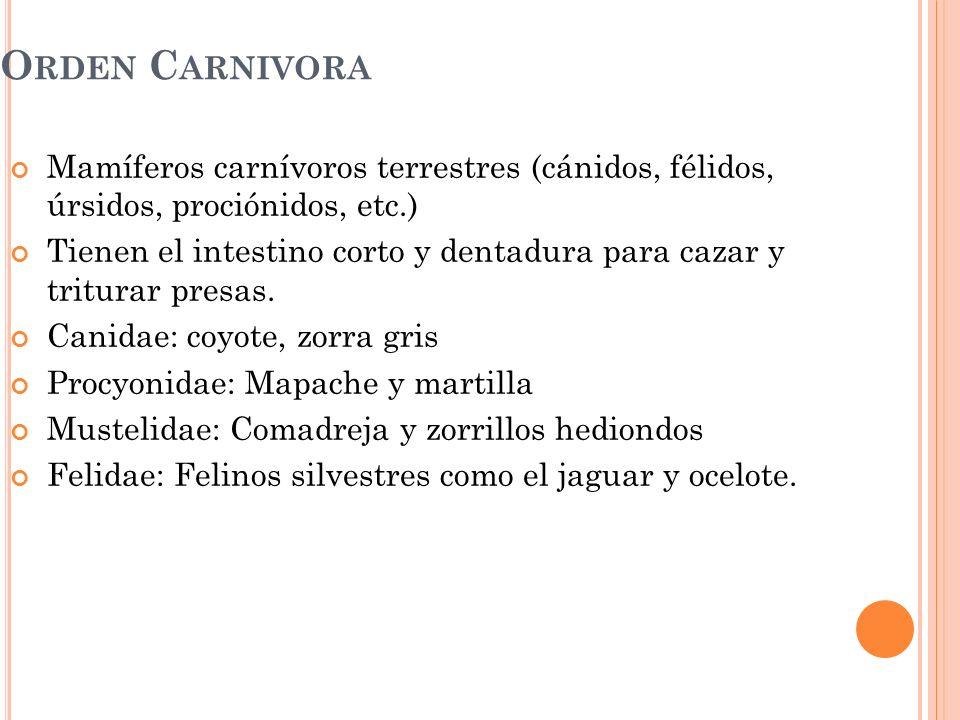 O RDEN C ARNIVORA Mamíferos carnívoros terrestres (cánidos, félidos, úrsidos, prociónidos, etc.) Tienen el intestino corto y dentadura para cazar y tr