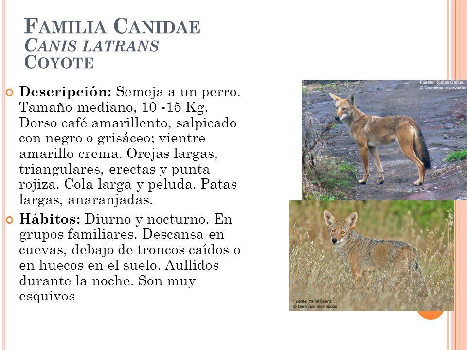 F AMILIA C ANIDAE C ANIS LATRANS C OYOTE Descripción: Semeja a un perro. Tamaño mediano, 10 -15 Kg. Dorso café amarillento, salpicado con negro o gris