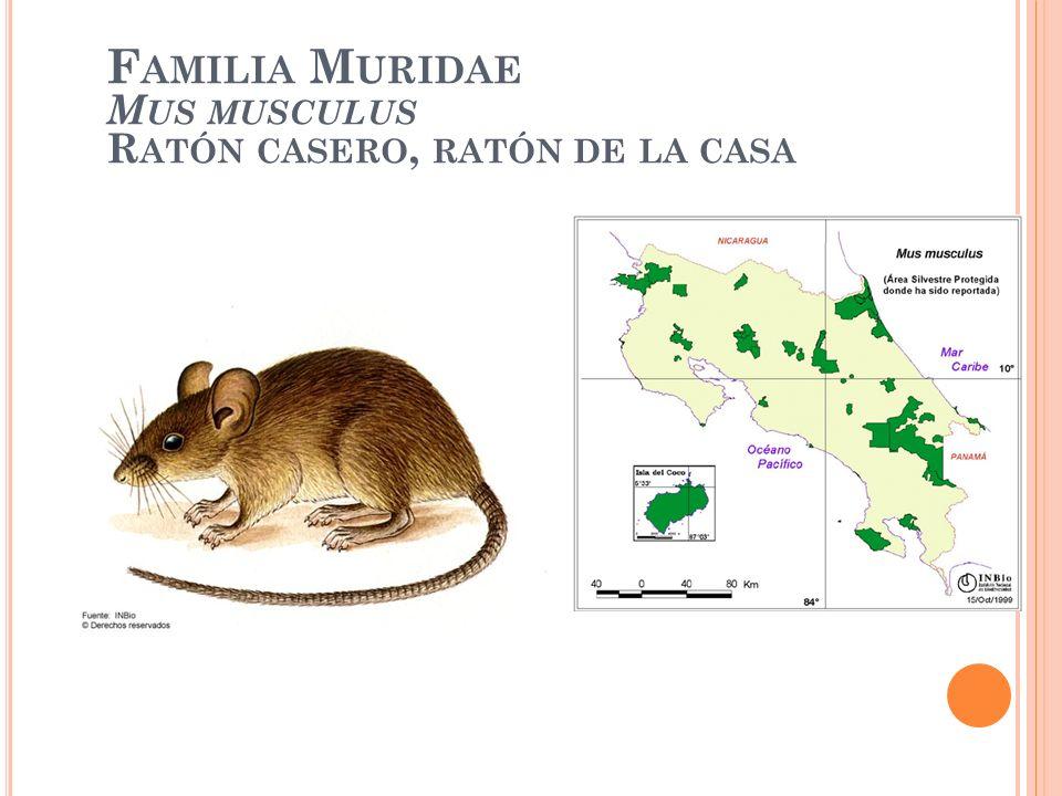 F AMILIA M URIDAE M US MUSCULUS R ATÓN CASERO, RATÓN DE LA CASA