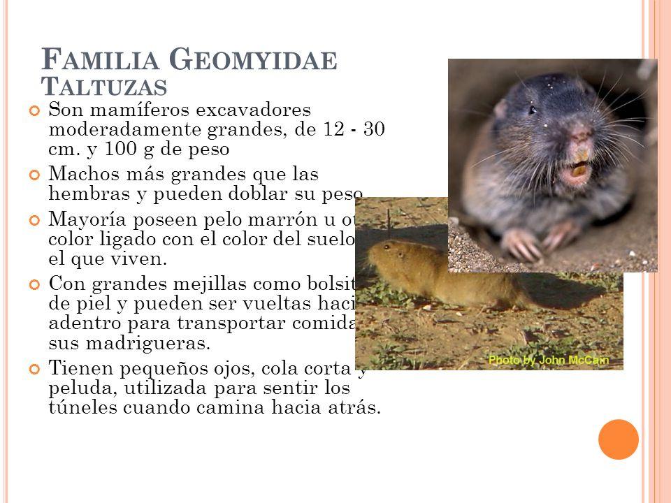F AMILIA G EOMYIDAE T ALTUZAS Son mamíferos excavadores moderadamente grandes, de 12 - 30 cm. y 100 g de peso Machos más grandes que las hembras y pue