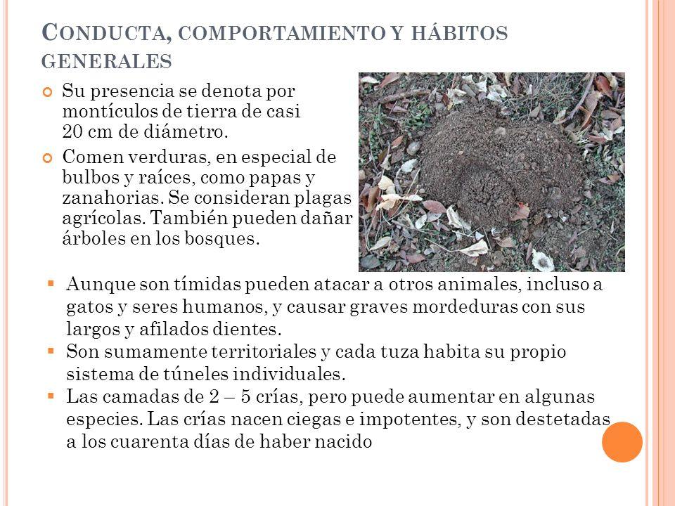 C ONDUCTA, COMPORTAMIENTO Y HÁBITOS GENERALES Su presencia se denota por montículos de tierra de casi 20 cm de diámetro. Comen verduras, en especial d