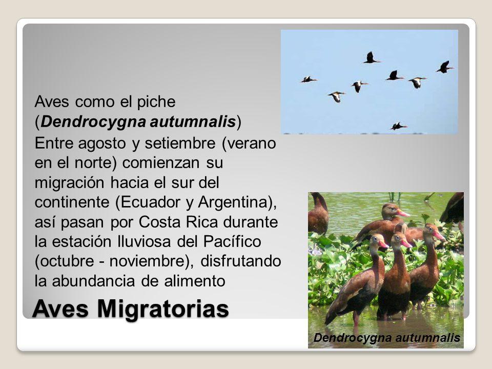 Aves Migratorias Aves como el piche (Dendrocygna autumnalis) Entre agosto y setiembre (verano en el norte) comienzan su migración hacia el sur del con