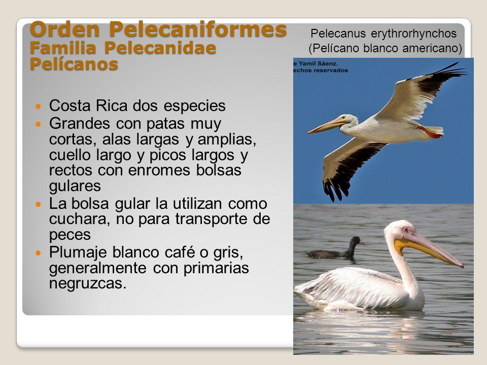 Orden Pelecaniformes Familia Pelecanidae Pelícanos Costa Rica dos especies Grandes con patas muy cortas, alas largas y amplias, cuello largo y picos l