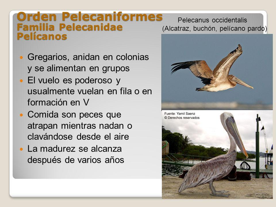 Orden Pelecaniformes Familia Pelecanidae Pelícanos Gregarios, anidan en colonias y se alimentan en grupos El vuelo es poderoso y usualmente vuelan en