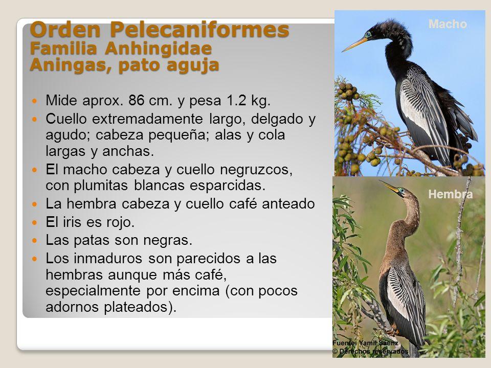 Orden Pelecaniformes Familia Anhingidae Aningas, pato aguja Mide aprox. 86 cm. y pesa 1.2 kg. Cuello extremadamente largo, delgado y agudo; cabeza peq