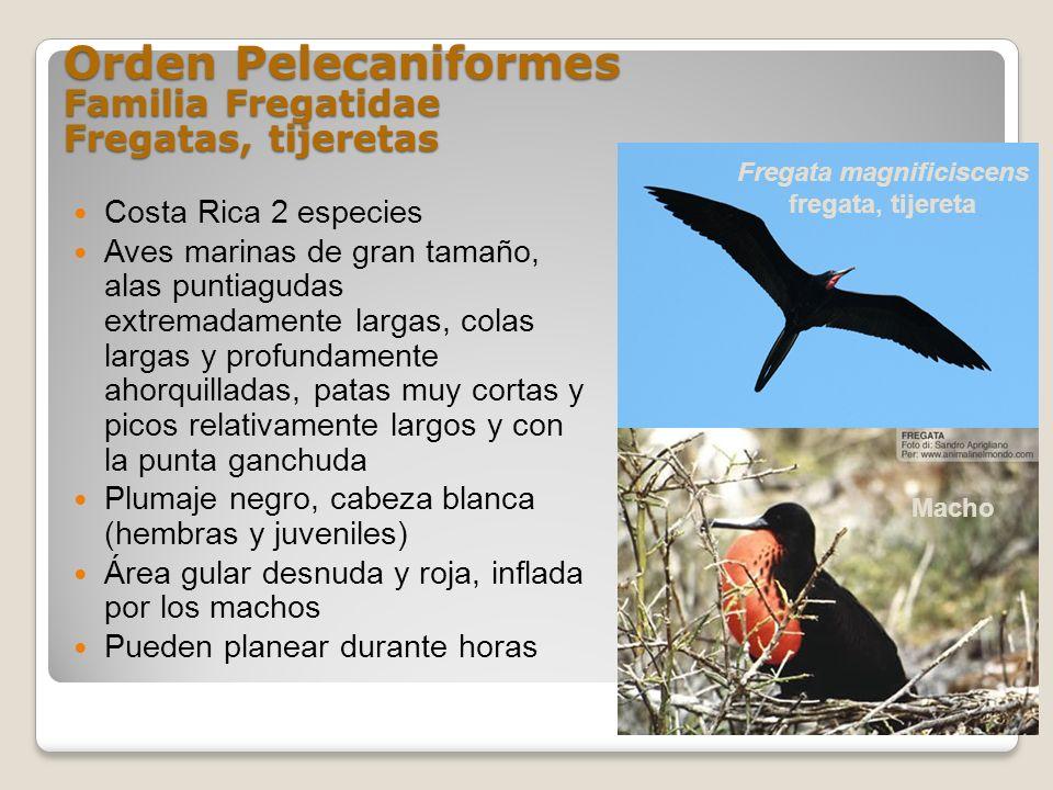Orden Pelecaniformes Familia Fregatidae Fregatas, tijeretas Costa Rica 2 especies Aves marinas de gran tamaño, alas puntiagudas extremadamente largas,