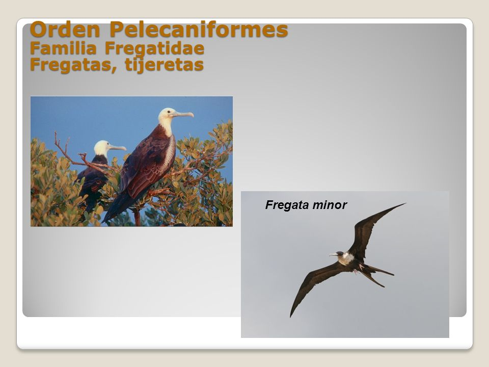 Orden Pelecaniformes Familia Fregatidae Fregatas, tijeretas Fregata minor