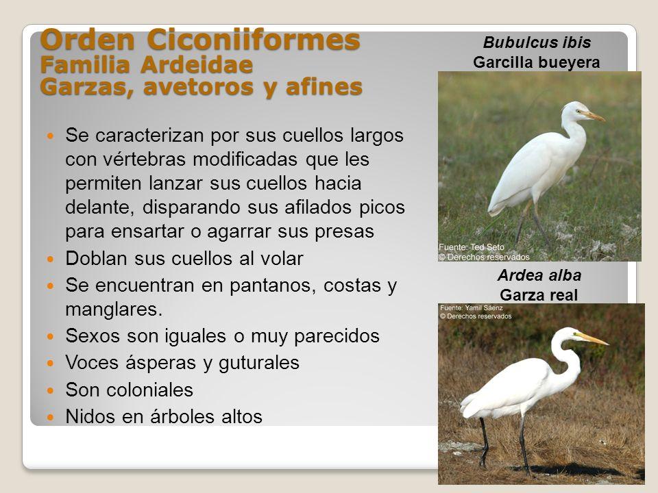 Orden Ciconiiformes Familia Ardeidae Garzas, avetoros y afines Se caracterizan por sus cuellos largos con vértebras modificadas que les permiten lanza