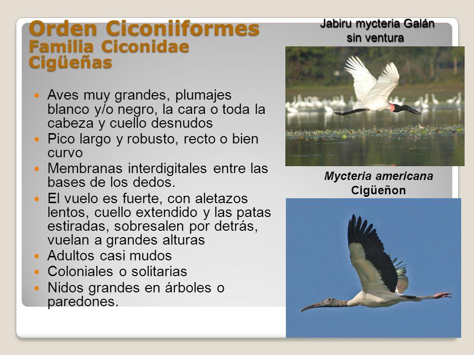 Orden Ciconiiformes Familia Ciconidae Cigüeñas Aves muy grandes, plumajes blanco y/o negro, la cara o toda la cabeza y cuello desnudos Pico largo y ro