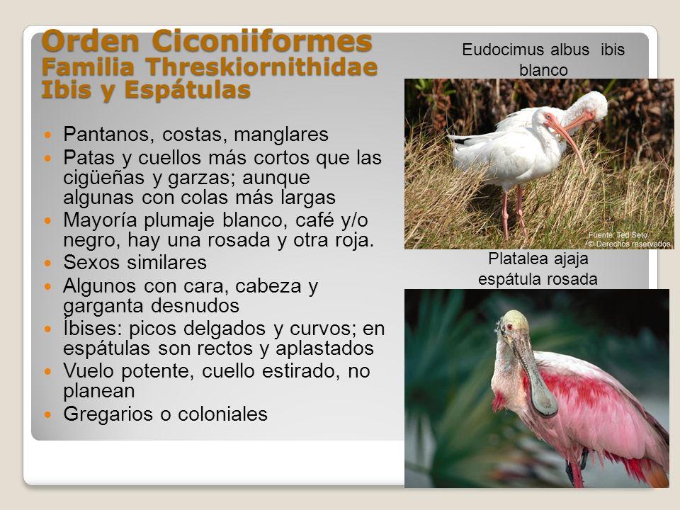 Orden Ciconiiformes Familia Threskiornithidae Ibis y Espátulas Pantanos, costas, manglares Patas y cuellos más cortos que las cigüeñas y garzas; aunqu