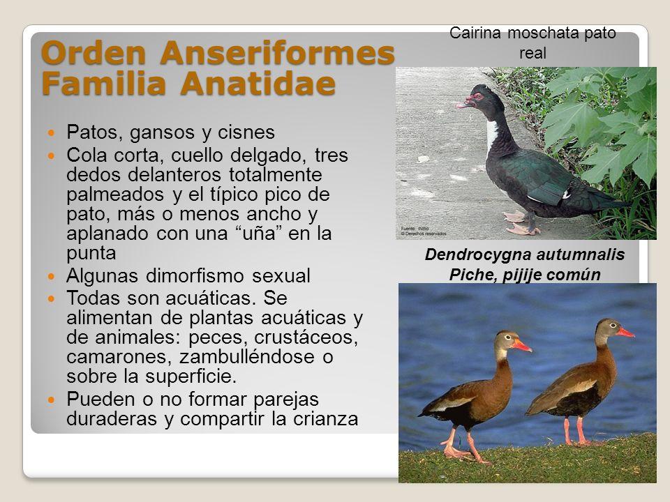 Orden Anseriformes Familia Anatidae Patos, gansos y cisnes Cola corta, cuello delgado, tres dedos delanteros totalmente palmeados y el típico pico de