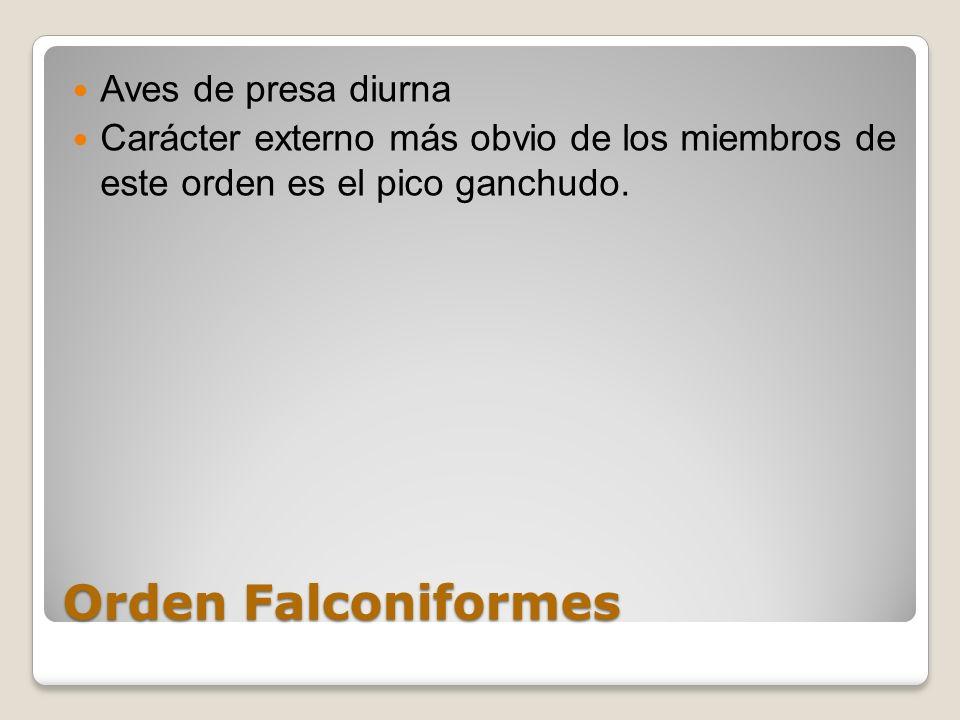 Orden Falconiformes Aves de presa diurna Carácter externo más obvio de los miembros de este orden es el pico ganchudo.