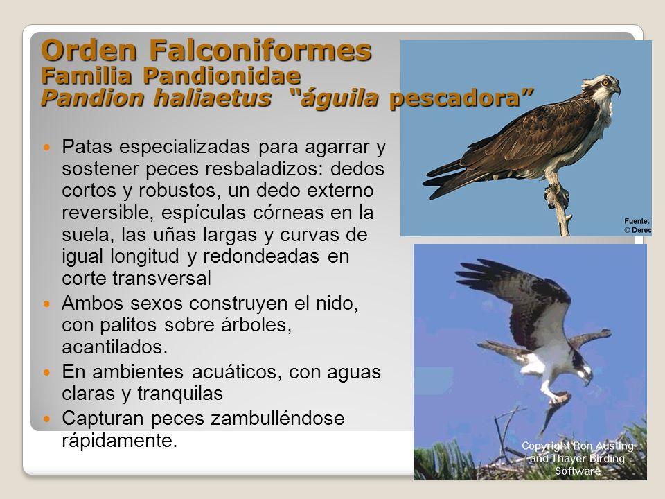 Orden Falconiformes Familia Pandionidae Pandion haliaetus águila pescadora Patas especializadas para agarrar y sostener peces resbaladizos: dedos cort