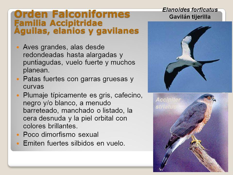 Orden Falconiformes Familia Accipitridae Águilas, elanios y gavilanes Aves grandes, alas desde redondeadas hasta alargadas y puntiagudas, vuelo fuerte