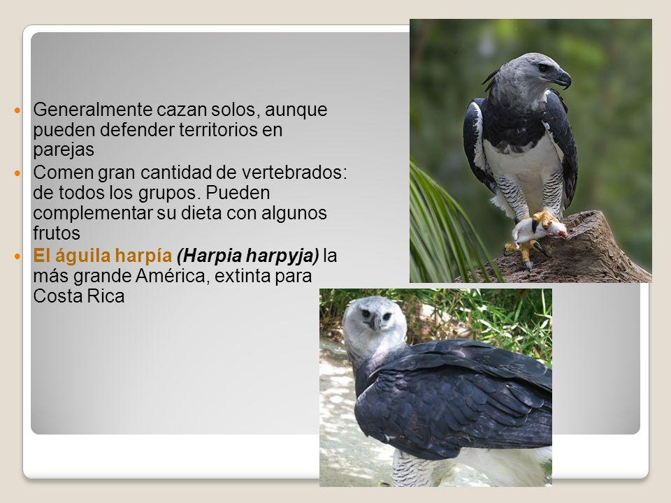 Generalmente cazan solos, aunque pueden defender territorios en parejas Comen gran cantidad de vertebrados: de todos los grupos. Pueden complementar s