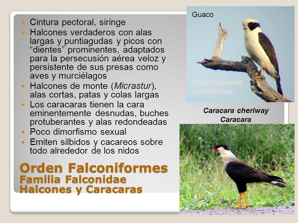 Orden Falconiformes Familia Falconidae Halcones y Caracaras Cintura pectoral, siringe Halcones verdaderos con alas largas y puntiagudas y picos con di