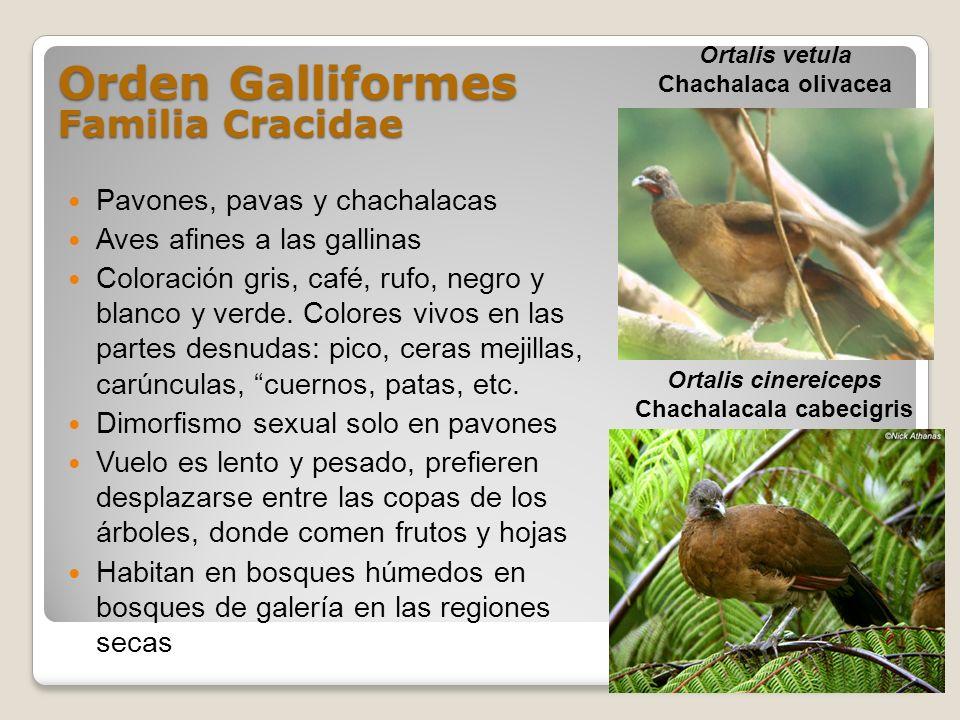 Orden Galliformes Familia Cracidae Pavones, pavas y chachalacas Aves afines a las gallinas Coloración gris, café, rufo, negro y blanco y verde. Colore