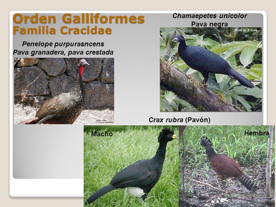 Orden Galliformes Familia Cracidae Penelope purpurasncens Pava granadera, pava crestada Macho Hembra Crax rubra (Pavón) Chamaepetes unicolor Pava negr