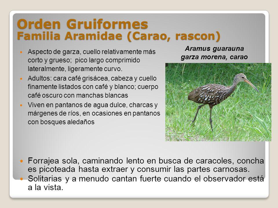 Orden Gruiformes Familia Aramidae (Carao, rascon) Aspecto de garza, cuello relativamente más corto y grueso; pico largo comprimido lateralmente, liger